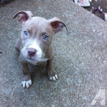 blue fawn pitbull puppies for sale easy tips free what to feed a with liver disease nose pitbull