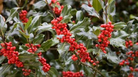 HOLLY ? ILEX ? Southern Living