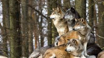 Wolf pack wallpaper animal wallpapers 24659