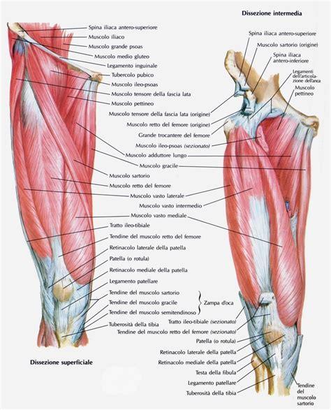 linfonodi interno coscia i muscoli della coscia per eseguire gli esercizi