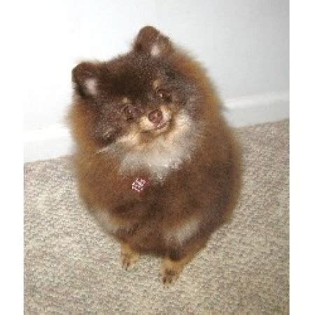 michigan pomeranian breeders beals pomeranians pomeranian breeder in davison michigan