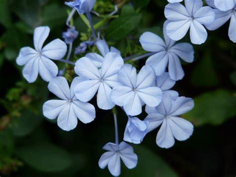 types of light blue flowers