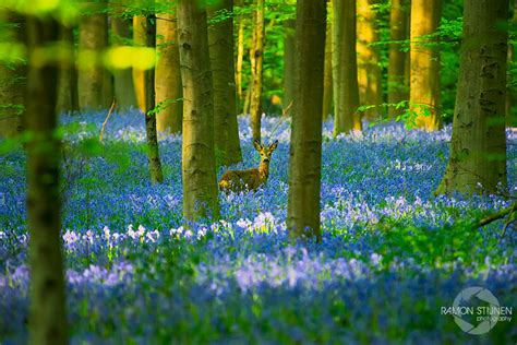 bluebell forest there s a mystical forest in belgium all carpeted with bluebell flowers bored panda