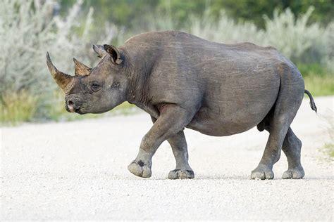black rhino black rhinoceros wikipedia