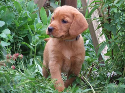 fox labrador puppies fox labrador x field spaniel puppies for sale tiverton pets4homes