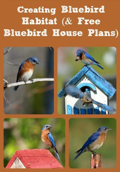 creating bluebird habitat free bluebird house plans