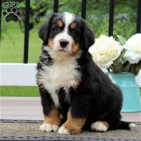 bernese mountain breeders pa bernese mountain puppies for sale greenfield puppies