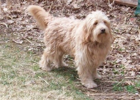 mini goldendoodle new york puppies for sale goldendoodle miniature goldendoodles