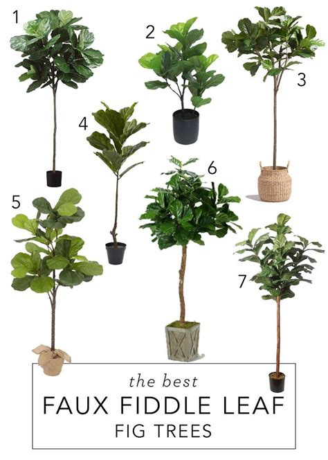 best fig best 25 fiddle leaf fig tree ideas on fiddle