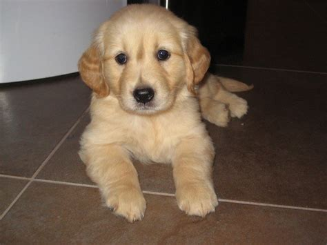 how to care for a golden retriever puppy puppy care i golden retrievers
