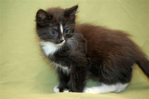 cute baby kittens black  white cats wallpaper hd