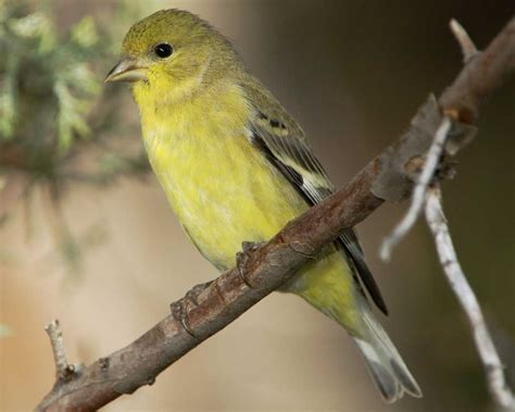 lesser goldfinch audubon field guide