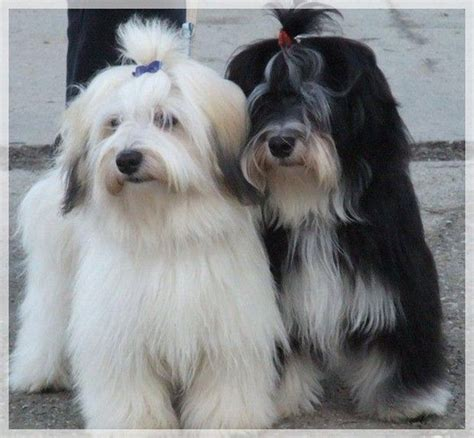 havanese height 138 best havanese dogs images on