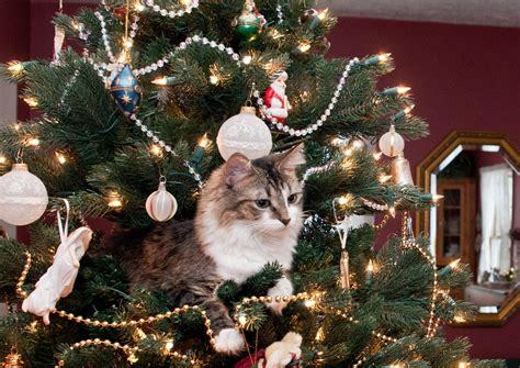 christmas cat 35 funny pictures gifs funnycatsgif com