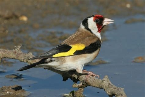 dead birds for sale for taxidermy goldfinch buy dead birds for taxidermy