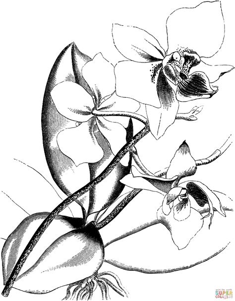 orchid coloring pages victorian orchid coloring page free printable coloring pages