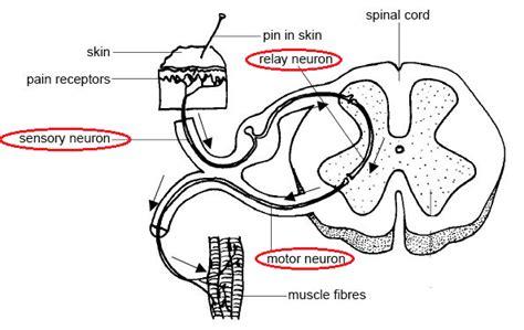 diagram of reflex arc 87 simple reflex arc biology notes for igcse 2014