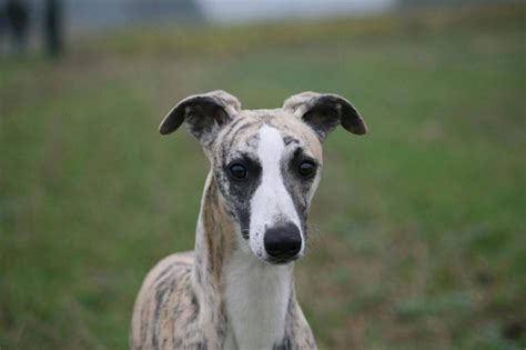 whippet for sale working whippet for sale stowmarket suffolk pets4homes