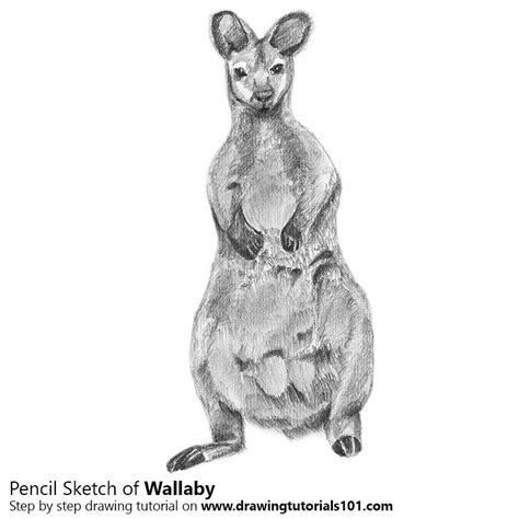 wallaby tutorial wallaby pencil drawing how to sketch wallaby using