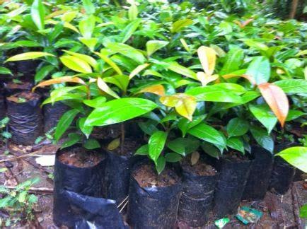 Benih Terong Apel gema wirausaha teknik penyemaian benih manggis