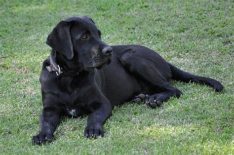 labradane puppies for sale thunder el diyuk labradanes