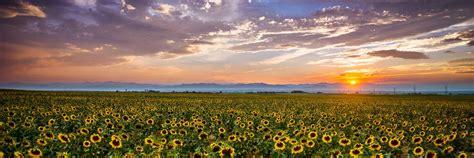 sunflowers panoramic denver colorado sunset rocky