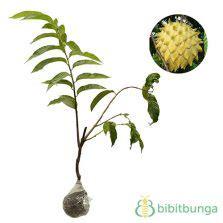 Tanaman Biriba 60cm tanaman srikaya jumbo