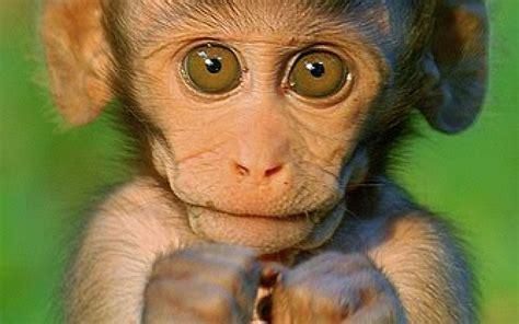 wallpaper cute monkey cute monkey wallpapers wallpaper cave