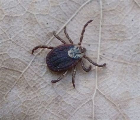 Tick Vs Bed Bug by Beetles That Look Like Ticks Pictures To Pin On