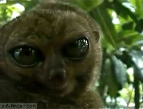 Dramatic Look lemur dramatic look gif finder find and
