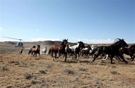 blm mustang roundup in major decision 10th circuit wyoming can t
