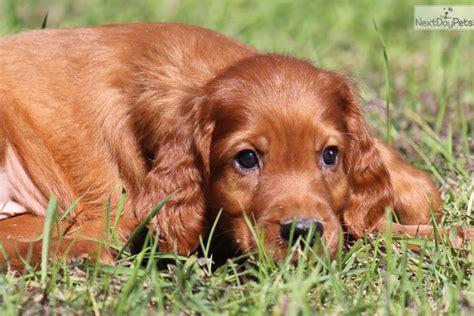 irish setter dogs for sale irish setter puppy for sale near grand rapids michigan