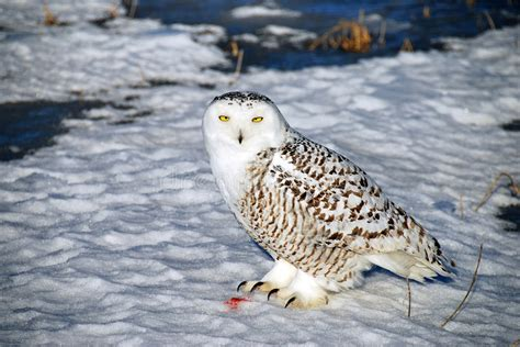A Snowy Owl Papercraft Resting - snowy owl at rest stock image image of white talons