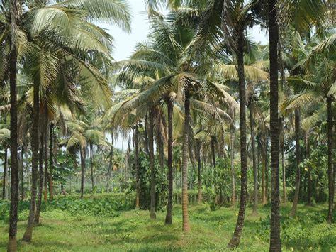 File:Coconut Tree Farm   Wikimedia Commons