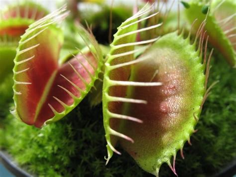 how to take care of a venus flytrap ebay