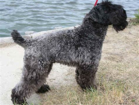 kerry blue terrier puppies for sale kerry blue terrier the universe of animals