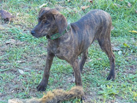 treeing tennessee brindle puppy treeing tennessee brindle pictures