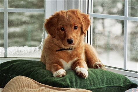 toller puppies midwest breeders