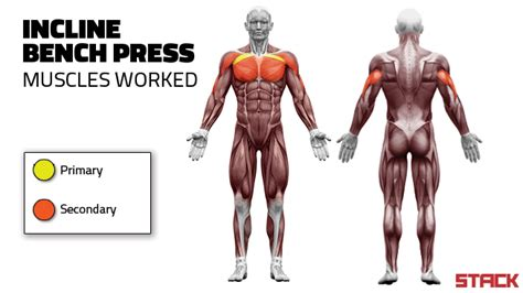 muscles used in a bench press do the incline bench press for a stronger and bigger chest