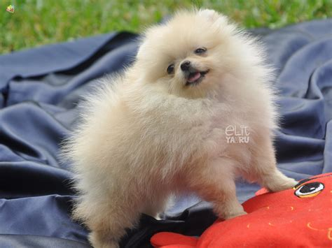 pomeranian bo pin boo pomeranian on