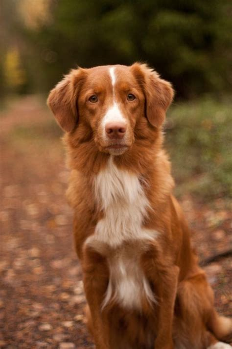 toller puppies a scotia duck tolling retriever in the photo by antti korpela toller