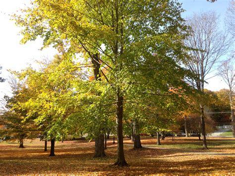 american tree american beech bates canopy bates college