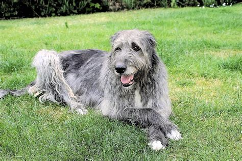 Wolfhound Shedding by Wolfhound Puppies Pictures Breeds Picture
