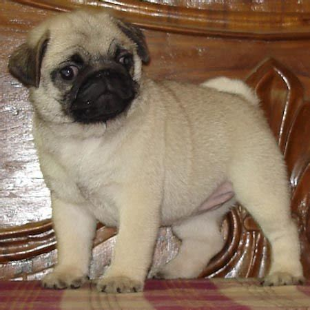 pug puppies price in india pug puppies for sale for sale adoption from urbanestate punjab punjab patiala adpost
