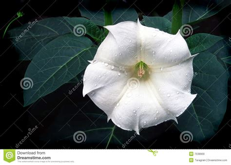 portfolio inoxea datura stock photo image 7538900