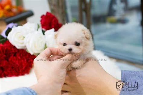 poodle puppies for sale near me and hair chihuahua rolly teacup puppies