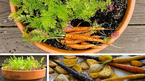 carrot container garden container garden carrots from seed to plate
