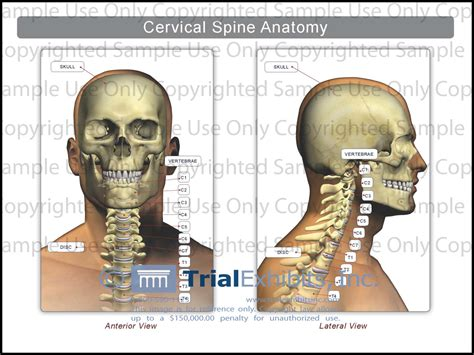 diagram of the back of the neck human anatomy the human cervical spine anatomy