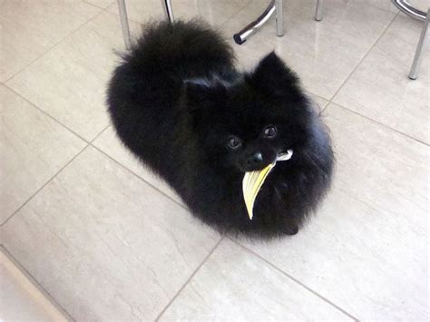 black pomeranian haircuts 25 best ideas about black pomeranian on baby pomeranian baby bears and