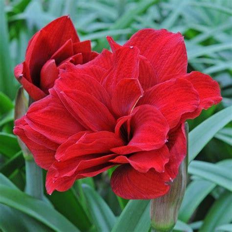 Amaryllis Zwiebel Einpflanzen 4509 by Amaryllis Amarantia Ein Wundersch 246 Ner Roter